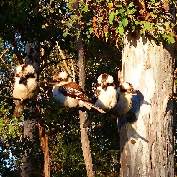 Kookaburras in the trees